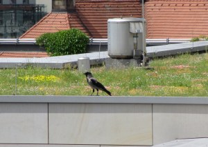Caught in the act! This big crow has been tampering with my rooftop research.