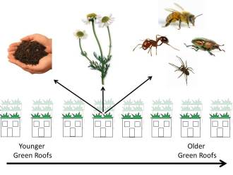 For my fellowship in Germany I will be determining how green roof soils, plants, and insects change over time by studying roofs of varying ages.