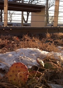The setting sun melts a little more snow around the cacti growing on a chilly green roof in Chicago.