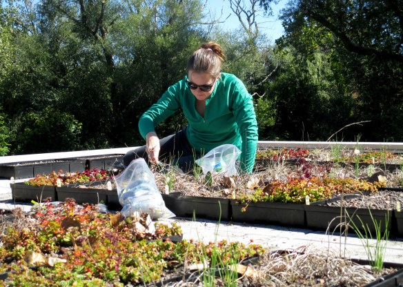 I collect soil samples from the green roof in the fall to compare to soil that I collected in the spring