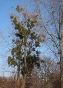Without the leaves on the trees, you can see just how much mistletoe grows here!