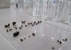 I am carefully sorting and counting all the insects that I collect from the green roofs.