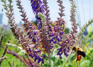 This bumble bee is enjoying the pollen and nectar in the leadplant flowers on a green roof in Chicago.