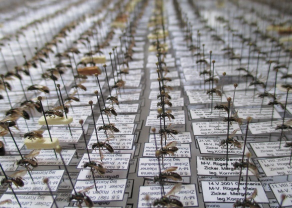 This is just a tiny sample of the collection of bees that the local expert uses to compare news bee to when making his final determinations. He has thousands of bees in his tiny office!