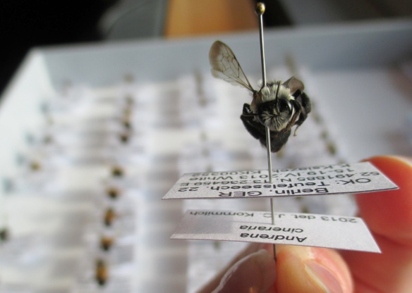 Each bee in my collection was labeled with important information like the location of collection and species name.