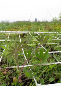 I use my 10 x 10 grid to plant the native prairie plants on the green roofs.