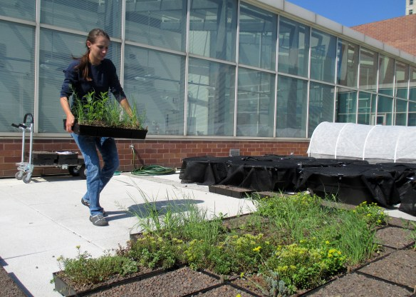 Intern Susanna helps me set up the green roof trays at Loyola University.