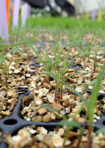 These little grasses started to grow in the greenhouse at the beginning of the month.