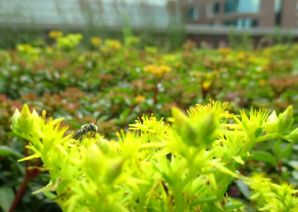 A small bees stops to take a break on one of the green roofs in Chicago.
